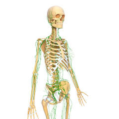 3d Anatomy of female lymphatic system with skeleton