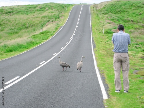 A man photographs the emu birds at a road