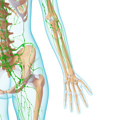 3d Anatomy of  lymphatic system with skeleton