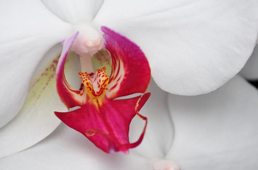 Phalaenopsis, Orchid isolated