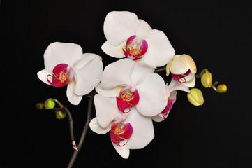 Phalaenopsis, Orchid isolated on black background