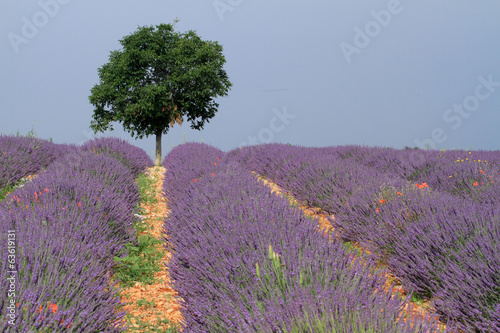 Naklejka valensole provenza francia campi di lavanda fiorita