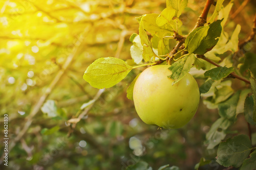 Green apple on a tree in the garden