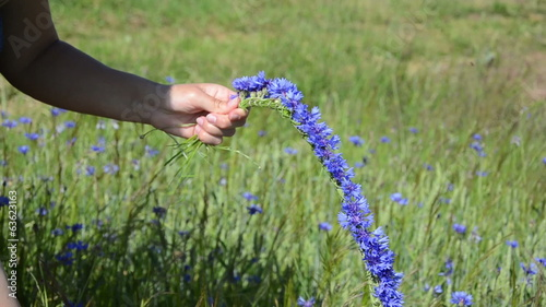 woman hands gather cornflower bluet flower and make crown wreath