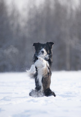 Border Collie on a winter walk