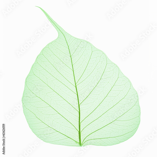 bodhi leaf vein isolated