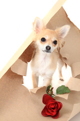 chihuahua as valentine present with rose