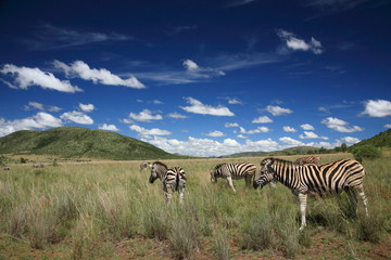 zebre parco nazionale pilanesberg sudafrica