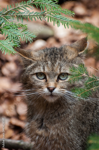 canvas print picture Wildkatze