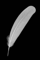 White feather isolated on black