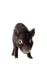 Little black piggy isolated on the white background