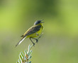 Yellow Wagtail singing on flower branch