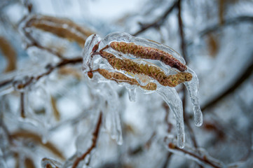 Frozen branches of a hazelnut tree