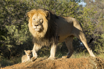 African Lion (Panthera leo) with cub South Africa