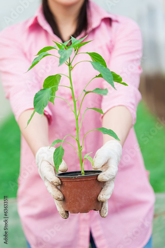 woman hoding a pepper seedling pot