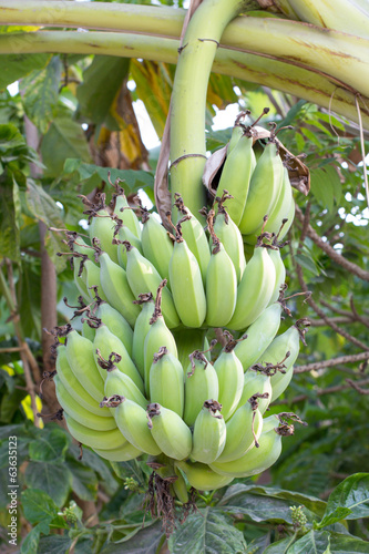 Banana bunch on tree in the garden,Thailand