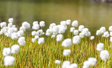 Campo di erba e fiori cotonati