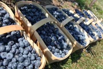 Fresh blueberries in harvest baskets