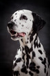 Beauty dalmatian dog, isolated on white background