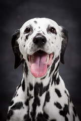 Beauty dalmatian dog, isolated on black background