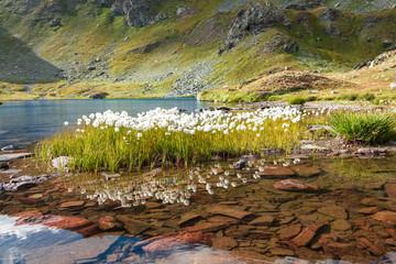 Fiori cotonati riflessi nel lago