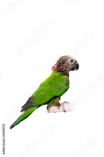 Hawk-headed Parrot (Deroptyus accipitrinus) isolated on white