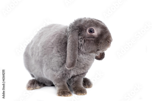 Grey lop-eared rabbit rex breed isolated on white background