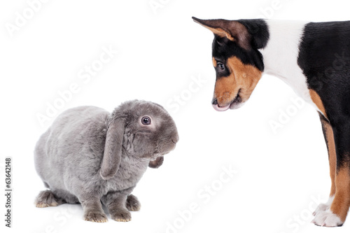 Grey lop-eared rabbit rex breed with basenji on white