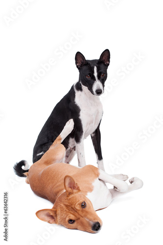 Two Basenjis isolated on the white background