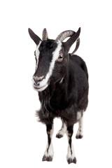 Toggenburg goat isolated on the white background