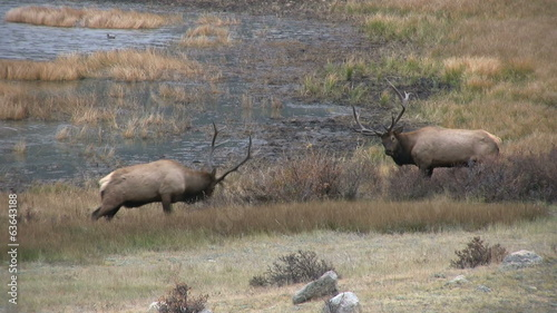 Rutting Bull Elk Face Off