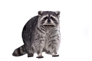 Raccoon (15 years old) - isolated on the white background
