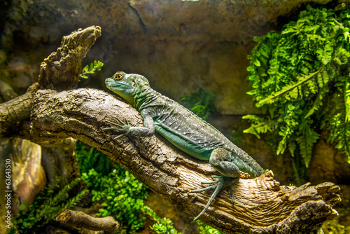 Little green iguana.