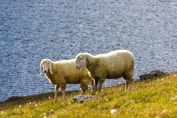 Pecore al pascolo con lago