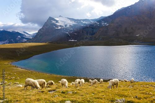 Foto op Aluminium Schapen Pecore al pascolo con lago