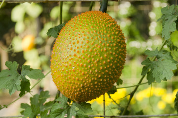 A Southeast Asian fruit