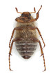 Underside of Chafer beetle, Amphimallon falleni isolated