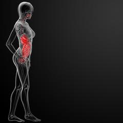 3d render female digestive system