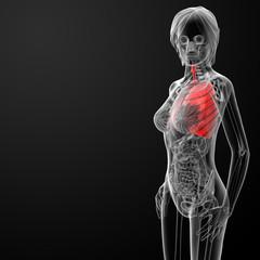 3d render female respiratory anatomy
