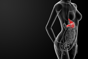 3d render of the female stomach