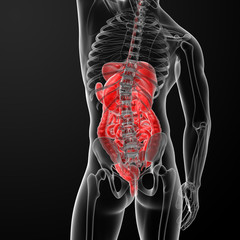 3d rendered illustration of the digestive system