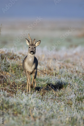 Buck deer in a clearing, in winter