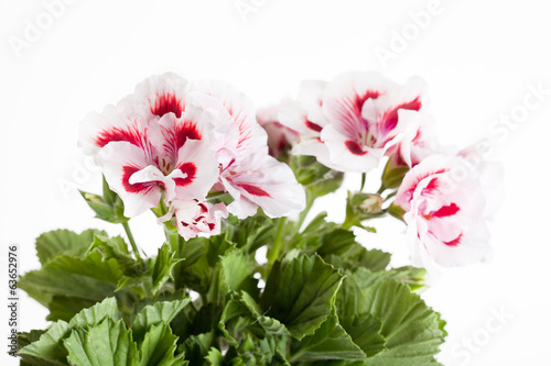 Blossoming red-white geranium (geranium) on a white background