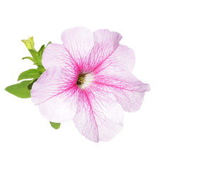 Beautiful flower, petunia flowers isolated on white