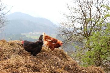 Zwei Hühner auf einem Misthaufen