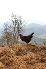 Schwarzes Huhn auf einem Misthaufen