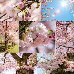 Collage: Japanische Kirschblüten )