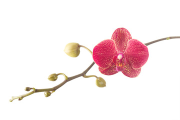 Pink orchid flower on branch isolated on white