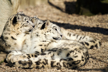 Lying family of Snow Leopard Irbis (Panthera uncia)