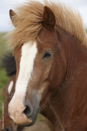 Iceland. Brown icelandic horse heads.